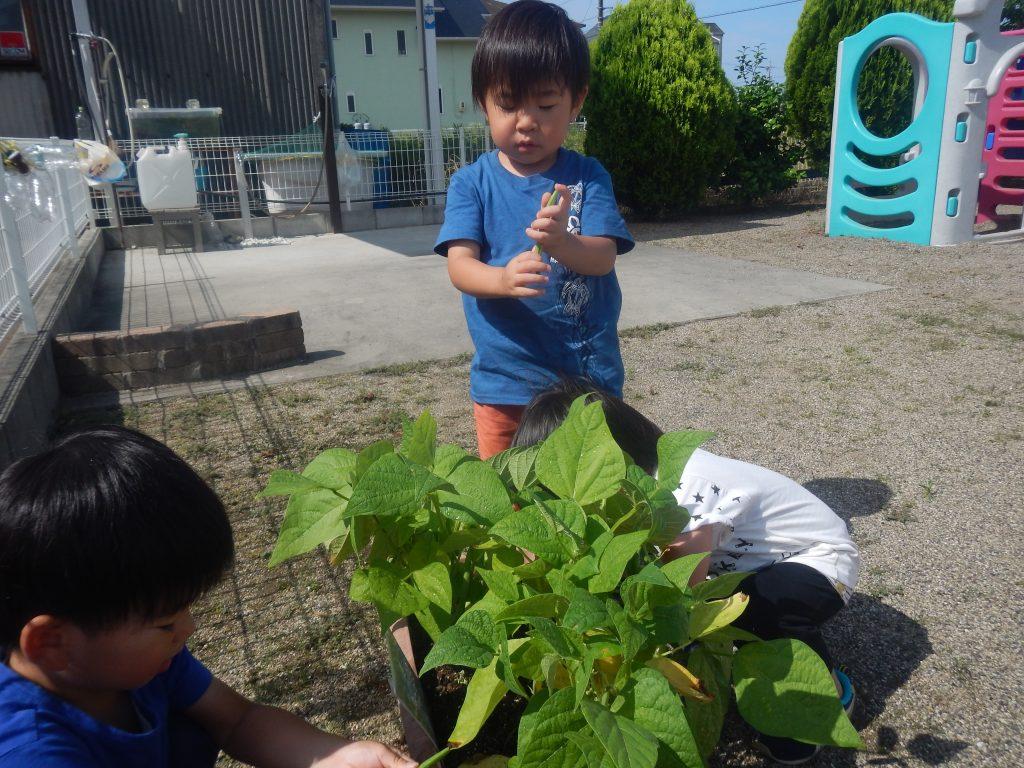 インゲン収穫4